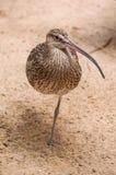 Żywy curlew na piasku Zdjęcie Royalty Free