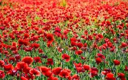 Żywy czerwony maczka pole przy zmierzchem Obraz Stock