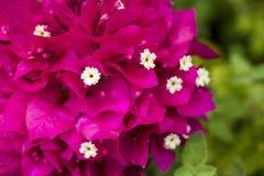 Żywy czerwony purpurowy bougainvillea Obraz Stock
