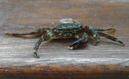 Żywy denny krab na drewnianej desce Zdjęcia Royalty Free