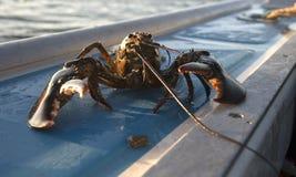 żywy homar Zdjęcia Stock