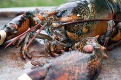 Żywy homar fotografia stock