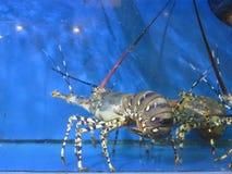 Żywy homar przy owoce morza rynkiem Zdjęcia Royalty Free