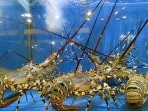 Żywy homar przy owoce morza rynkiem Zdjęcia Stock