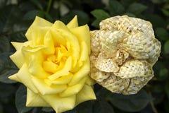 Żywy i nieżywy wzrastał yin - yang Naturalny i sztuczny kwiat Zdjęcie Stock