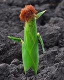 żywy kukurudza Obraz Royalty Free