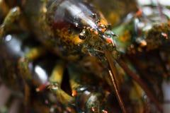 Żywy Maine homar Fotografia Stock