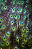 Żywy pawi ogon Fotografia Stock