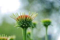 Żywy PinkAC kwiatu pączek Obrazy Stock