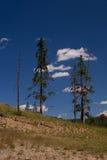 żywych martwych drzew Zdjęcia Royalty Free