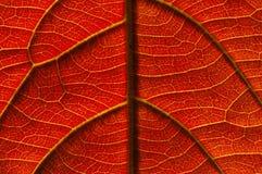 żyły liści, Fotografia Royalty Free