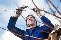 Yyoung man pruning apricot brunches with the pruner. Portrait of young man pruning apricot brunches with the pruner Stock Image