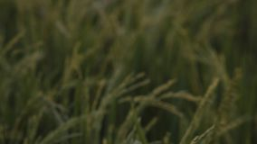 Żyzny ryżowy irlandczyk od plamy skupiać się zbiory