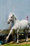 Zählung des Percheron-Entwurfs-Pferds Lizenzfreie Stockbilder