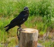 Zähmen Sie die schwarze Krähe, die auf einem hölzernen Beitrag im Hintergrund sitzt, der durch die Sommersonnengrünvegetation und Stockbild