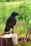 Zähmen Sie die schwarze Krähe, die auf einem hölzernen Beitrag im Hintergrund sitzt, der durch die Sommersonnengrünvegetation und Stockfoto