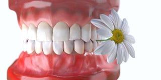 Zähne mit Blumenmedizin-Zahngesundheitskonzept Stockfotografie