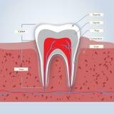 Zähne oder zahnmedizinische Illustration Lizenzfreie Stockfotografie