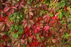 Zäunen Sie überwuchertes mit dekorativen dem GR Burgunder-Mädchens des Herbstlaubs ein Stockbild