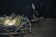 Złoci ptasi jajka w gniazdeczku obok czarnego królika na ciemnym tle zdjęcia stock