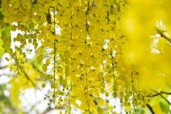 Złota prysznic TreeCassia fistuła jest piękna żółtym kwiatem w lecie fotografia royalty free