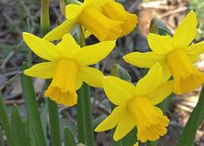 Złote trąbki narcyzów kwiatów zwiastun W Nowej wiośnie fotografia royalty free