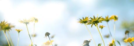 Złoty kolor żółty kwitnie przeciw niebieskiemu niebu z przestrzenią zdjęcie stock
