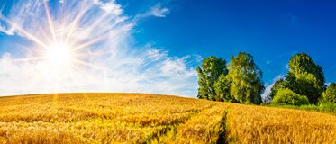 Złoty pole uprawne na pogodnym letnim dniu obraz royalty free