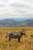 Zèbre éthiopien sur la savane Photographie stock