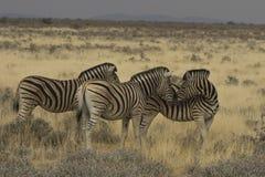 Zèbre affectueux de plaines en parc national d'Etosha, Namibie Photo stock