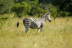 Zèbre africain Image stock