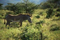 zèbre africain Images libres de droits