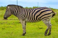 Zèbre, Afrique du Sud image libre de droits
