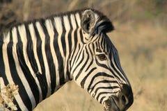Zèbre au Botswana Images libres de droits