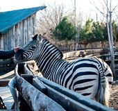 Zèbre au zoo photographie stock libre de droits