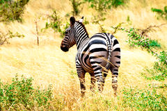 Zèbre dans la savane du Kenya Image libre de droits