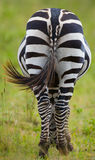 Zèbre dans la savane kenya tanzania Stationnement national serengeti Maasai Mara photos stock