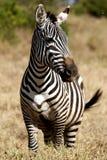Zèbre dans le masai Mara Photo libre de droits