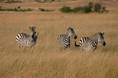 Zèbre dans le masai mara Images stock