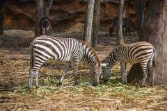 Zèbre dans le safari de nuit de Chiangmai image libre de droits