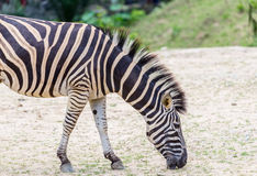 Zèbre dans le zoo Image stock