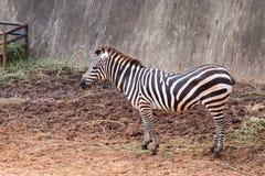 Zèbre dans le zoo Images stock
