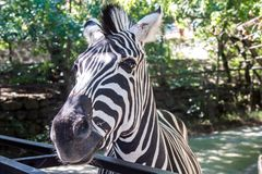 Zèbre dans le zoo, plan rapproché, rayures noires et blanches photographie stock libre de droits