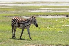 Zèbre dans Maasai Mara, Kenya Photographie stock