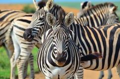 Zèbre dans une réservation africaine de jeu Photo stock