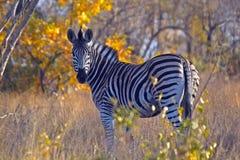 Zèbre de Burchells (burchellii de quagga d'Equus) Photos libres de droits