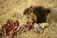 Zèbre de lion Images libres de droits