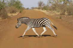 Zèbre de montagne en Afrique du Sud Image libre de droits