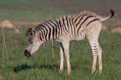 Zèbre de plaines Image libre de droits