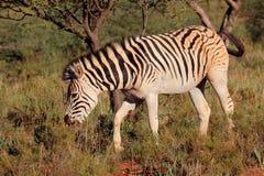 Zèbre de plaines dans l'habitat naturel Image libre de droits